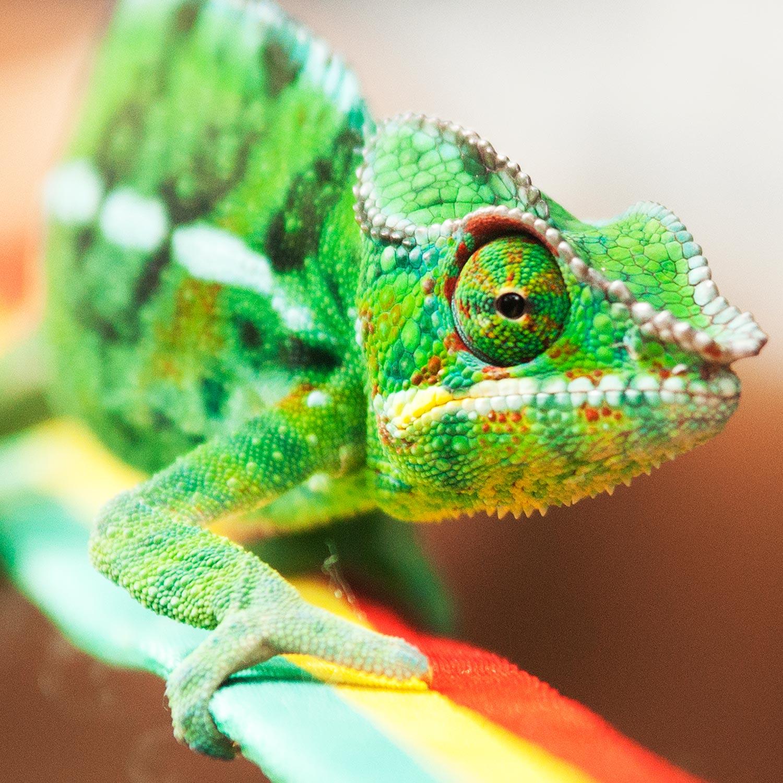 La faune et la flore de Mayotte - Le caméléon dormeur